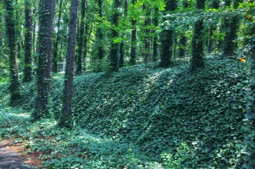 English Ivy Plants